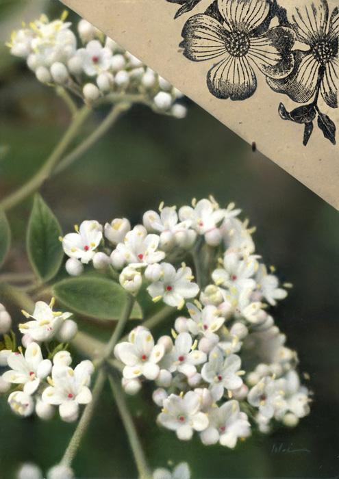 Imaginibus Naturae (Viburnum and Dogwood), 7×5″, Oil